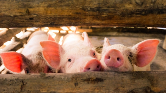 How does plasma support farmers in reducing antibiotics use in farm animals?